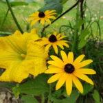 Fleur butternut et Rudbeckia