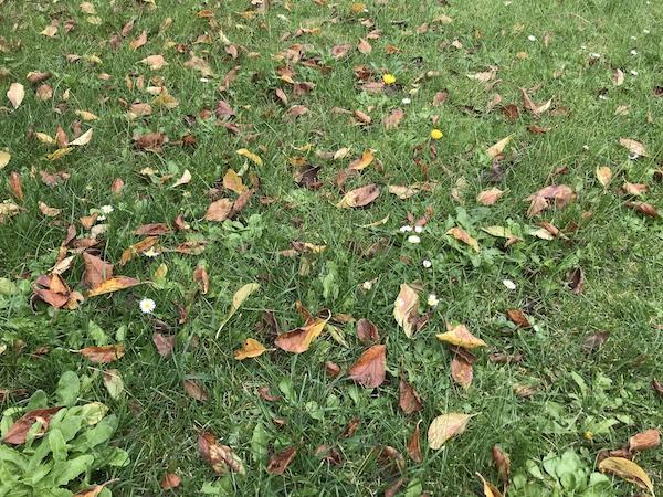 L'automne au Jardin. nettoyage de la pelouse.