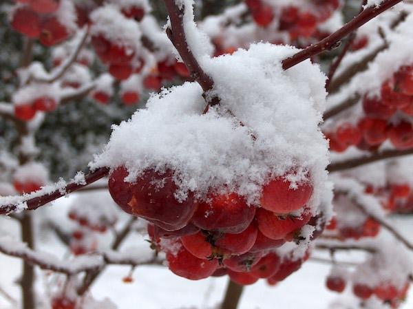 Malus everest sous la neige