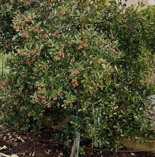 L'Euonymus Japonicus - Arbuste à croissance lente