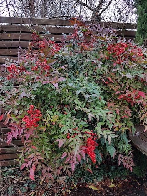 Arbuste persistant pour l'hiver -  le Nandina Domestica