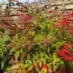 Coup de coeur de janvier le Nandina Domestica - jardin