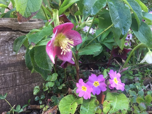 Au jardin en mars Hellébore, fleur