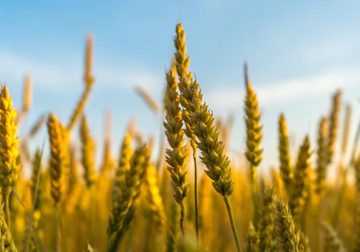 Epis de blé Yvelines