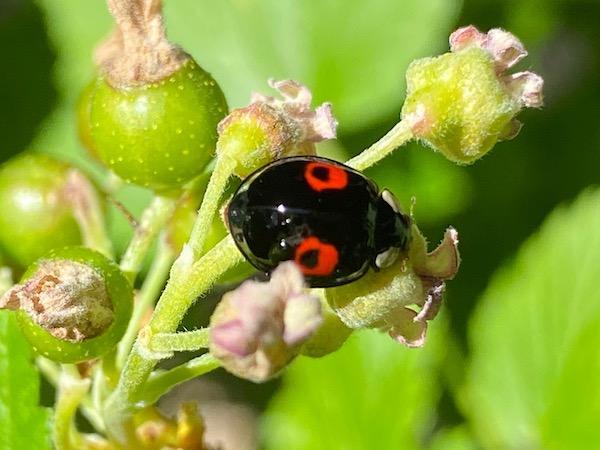 Jardins à l'automne - coccinelle sur plantes mellifères