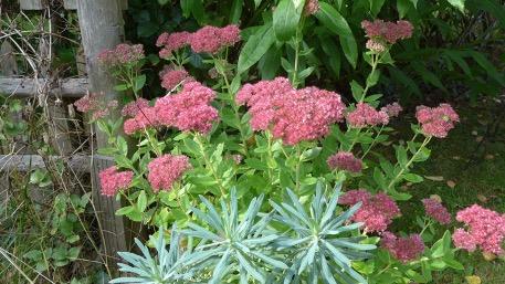 Jardins à l'automne - Sedum Spectabilis